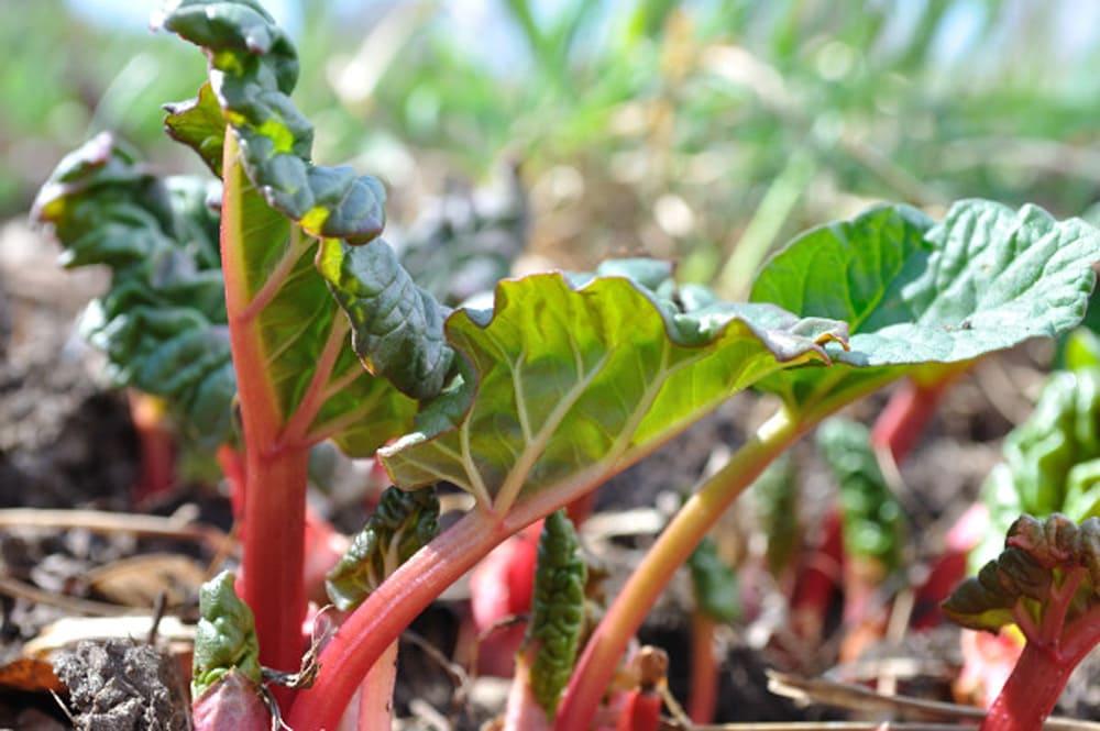 Spring Rhubarb - Food Gypsy
