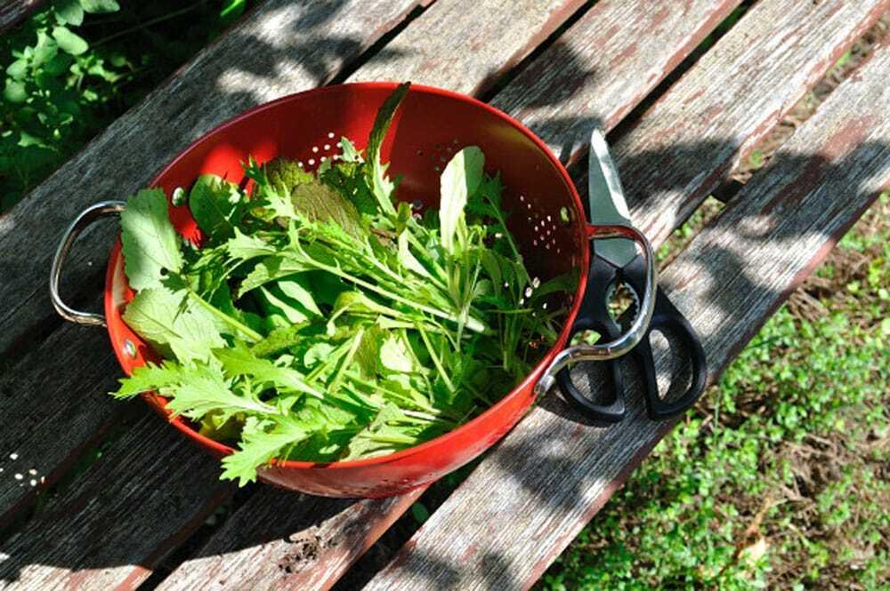 Harvesting Greens - Food Gypsy